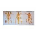 A meridiánok,  az akupunktúra- és a tuina pontjai (3 részes poszter)